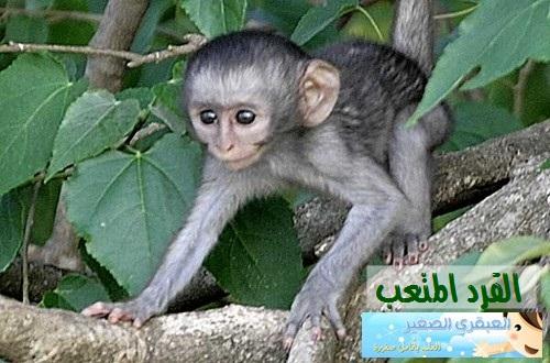 monkey-jihed-gorsane